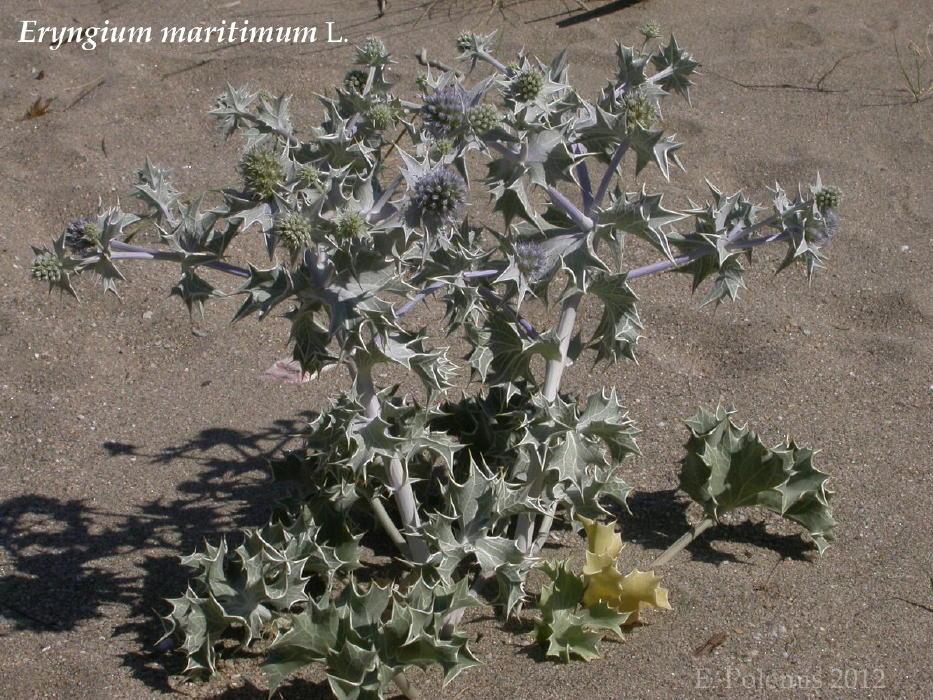 Eryngium maritimum_Andros June2012_ vanglouk androsfilm