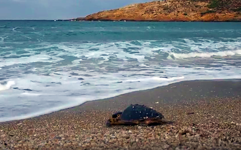 turtle-in-lefka-andros-vanglouk-androsfilm